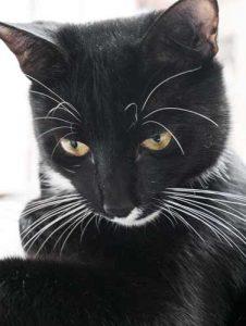 il mio gatto Pantoufle, nero con macchia bianca sul collo e mento